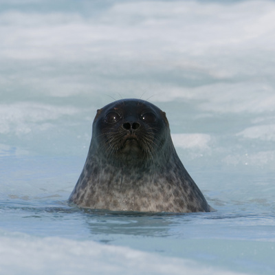 Ringed Seal Pup (Phoca Hispida) About 2 Months Old Stretched Canvas Print