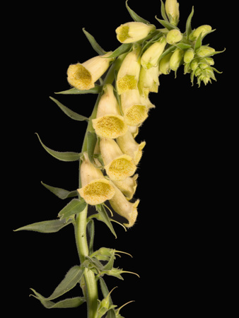 Foxglove Plant (Digitalis Grandiflora) Stretched Canvas Print