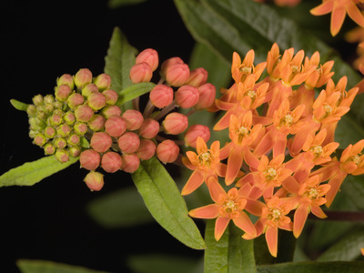 Butterfly Weed (Asclepias Tuberosa) Stretched Canvas Print