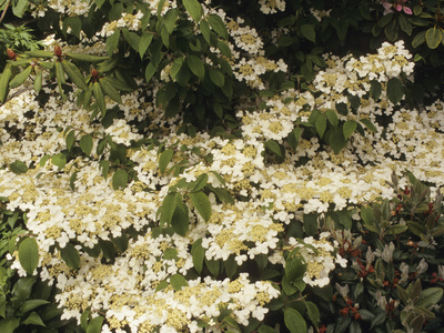 Doublefile Viburnum or Japanese Snowball Bush (Viburnum Plicatum), Mariesii Variety Stretched Canvas Print