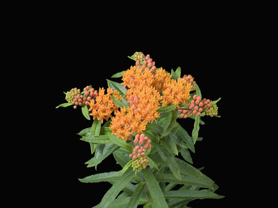 Butterfly Weed Flowers (Asclepias Tuberosa) Stretched Canvas Print