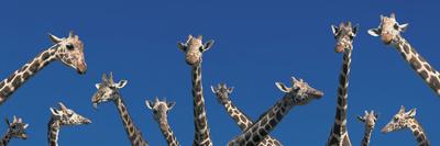 Curious Giraffes (Concept) Kenya Africa Stretched Canvas Print