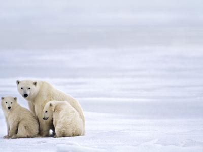 Polar Bear Mother and Cubs, Ursus Maritimus, Hudson Bay, Canada Stretched Canvas Print