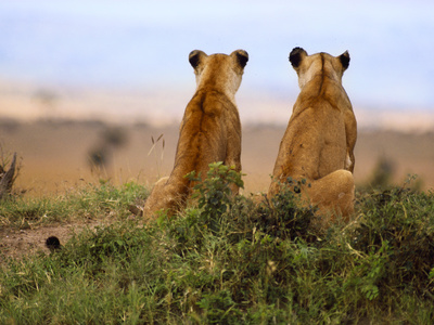 Lionesses Watching for Prey, Panthera Leo, Masai Mara Reserve, Kenya Stretched Canvas Print
