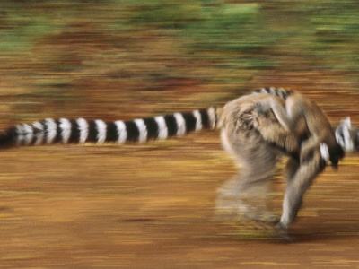 Ring-Tailed Lemur Running with Young, Lemur Catta, Berenty Reserve, Madagascar Stretched Canvas Print