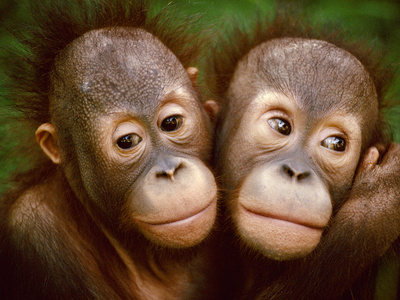 Young Bornean Orangutans Embracing, Pongo Pygmaeus, Sepilok Reserve, Sabah, Borneo Stretched Canvas Print