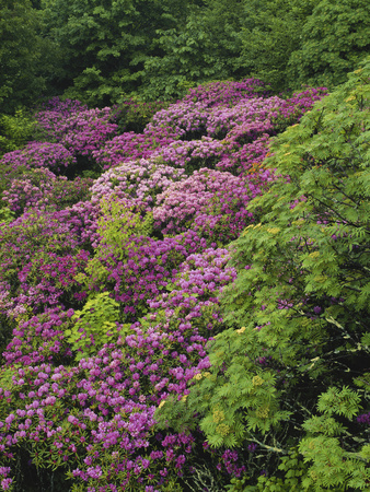 Catawba Rhododendron and Mountain Ash Growing in Forest Stretched Canvas Print