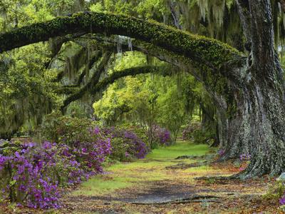 Coast Live Oaks and Azaleas Blossom, Magnolia Plantation, Charleston, South Carolina, USA Stretched Canvas Print