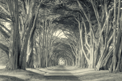 Cypress Tree Road, Point Reyes Stretched Canvas Print