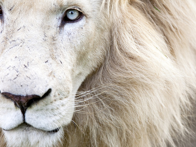 Full Frame Close Up Portrait of a Male White Lion with Blue Eyes South Africa Karine Aigner Photographic Print