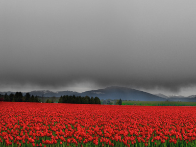 Tulip Fields Stretched Canvas Print