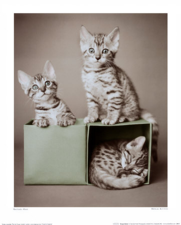kittens. Bengal Kittens Print at Art.