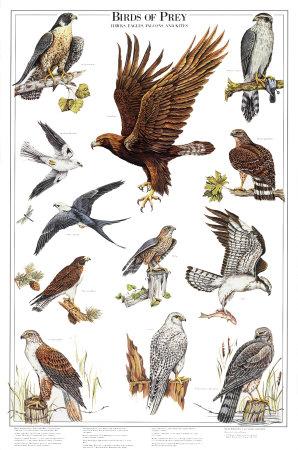 پرندگان شکاری
