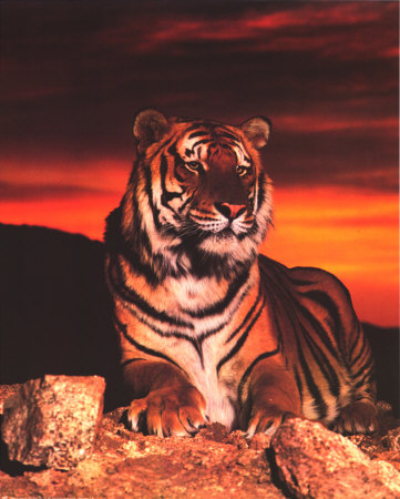 tiger in sunset