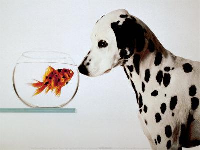 Riba na suhem Michel-tcherevkoff-dalmation-dog-looking-at-dalmation-fish