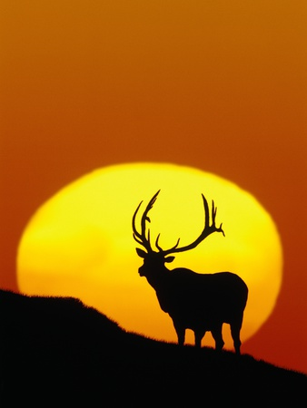 Bull Elk Outlined by Sun Stretched Canvas Print