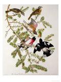 Grosbeak Finch