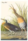 Gallinules