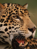 Jaguars (Nature Picture Library)