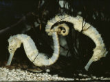 Seahorses (Nature Picture Library)