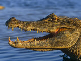 Alligators (Nature Picture Library)