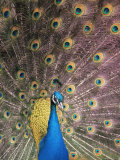 Peacocks (Nature Picture Library)