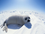 Seals (Nature Picture Library)