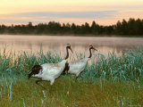 Cranes (Nature Picture Library)