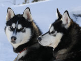Dogs (Nature Picture Library)