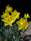 Daffodils (PCN Photography)