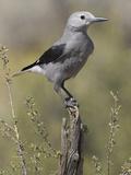 Nutcrackers (Bird)