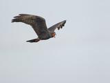 Kites (birds)