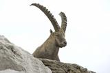Ibexes