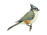 Titmouse Birds