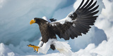 Eagles (Nature Picture Library)