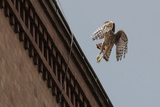 Hawks (Nature Picture Library)