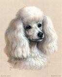 White Poodle