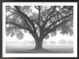 Silhouette Oak