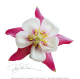 Pink Columbine