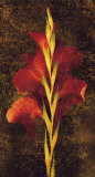 Gladiola
