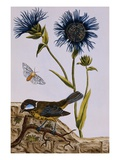 18th Century French Print of Cornflower