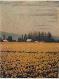 Skagit Daffodils