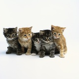 Five Tabby Kittens