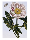 18th Century French Print of Flesh-coloured Common Peony