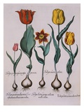 Tulipa  Engraving