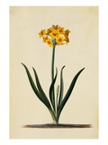 Botanical Print of Narcissus