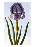 18th Century French Print of Mourning Iris