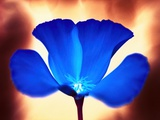 Blue California Poppy