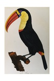 Print of a Toucan