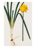 A Narcissus and Bulb